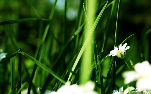 Обои Трава и белые цветы