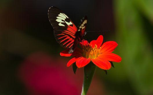 Обои Красивая бабочка сидит на красном цветке