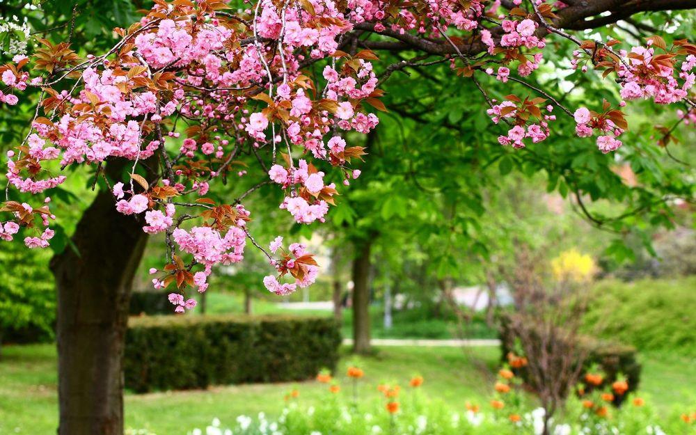 Обои для рабочего стола Цветущий персик в саду