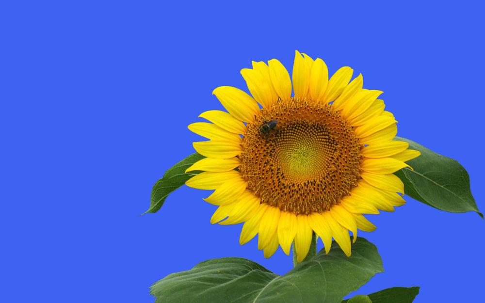 Обои для рабочего стола С цветка подсолнуха трудолюбивая пчела собирает нектар, а вокруг небо необыкновенной голубизны