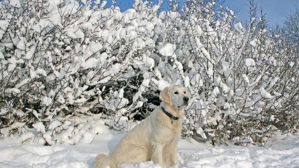 Обои Золотистый ретривер сидит в снегу на фоне деревьев