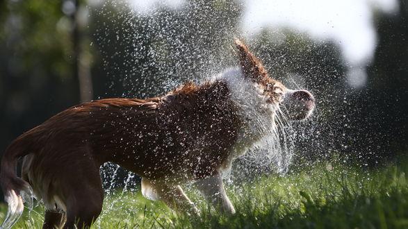 Обои Пёс стряхивает с себя воду