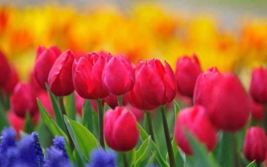 Обои Малиновые тюльпаны