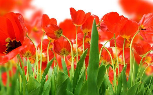 Обои Много красивых красных тюльпанов