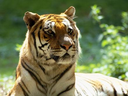 Обои Настороженный тигр