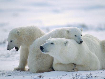 Обои Семейство белых медведей