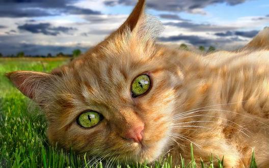 Обои Кошка с зелеными глазами на лужайке