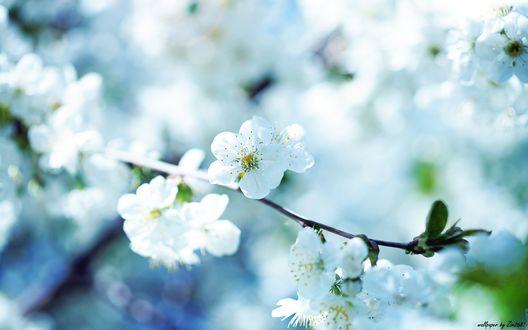 Обои Белые цветы вишни крупным планом