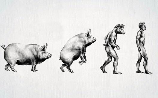 Обои Превращение свиньи в мужчину, эволюция по-мужски