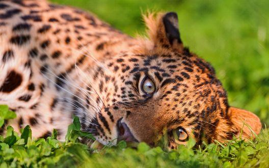 Обои Красивый леопард лежит в травке