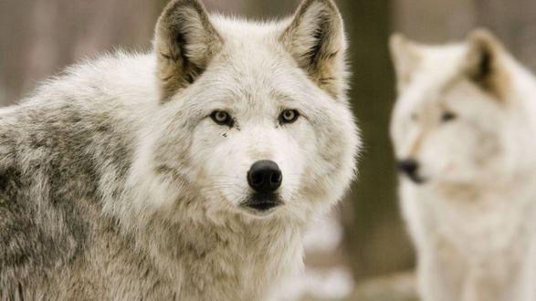 Обои Белые волки