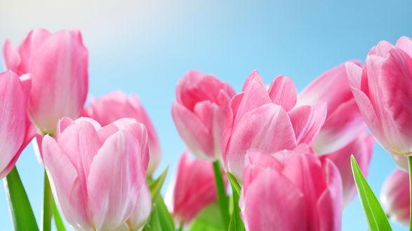 Обои Розовые тюльпаны