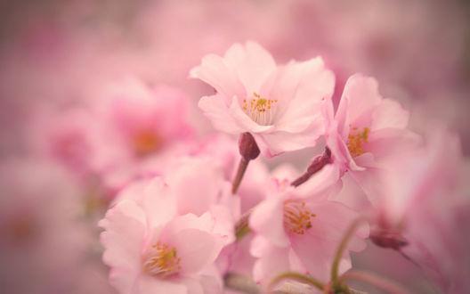 Обои Розовые цветы сакуры