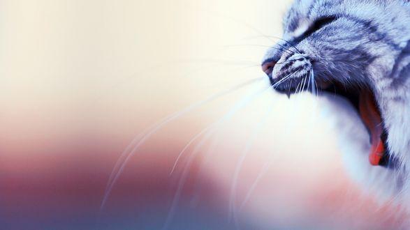 Обои Недовольный кот разинул рот