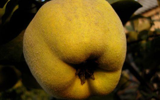 Вяжущий фрукт 4 буквы