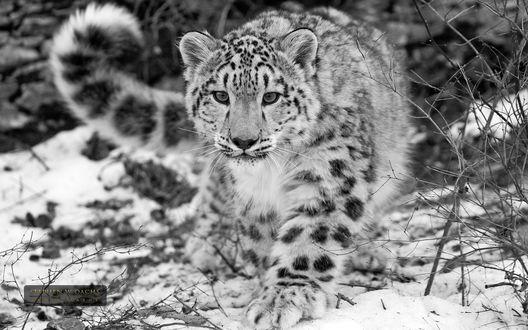 Обои Снежный барс идет по лесу (stephen w oachs photography)