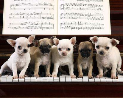 Обои Пять очаровательных щенков сидят на пианино под нотынми листами