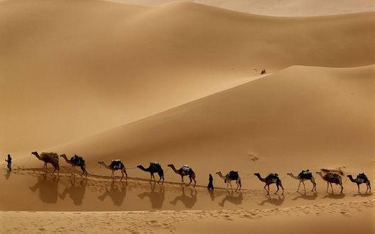 Обои Караван верблюдов идет по пустыне