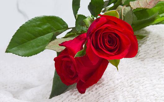 Обои Две красные розы