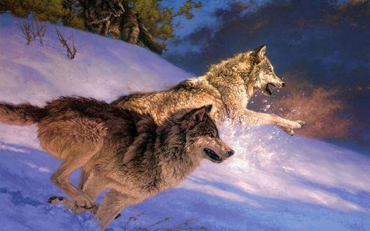 Обои Волки спешат к своей жертве