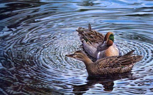 Обои Пара уток в воде