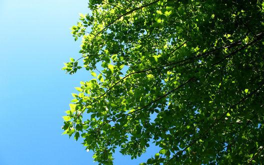 Обои Ярко зеленая крона деревья на фоне нежно голубого неба