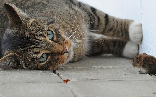 Обои Кот лежит и внимательно смотрит на мышку