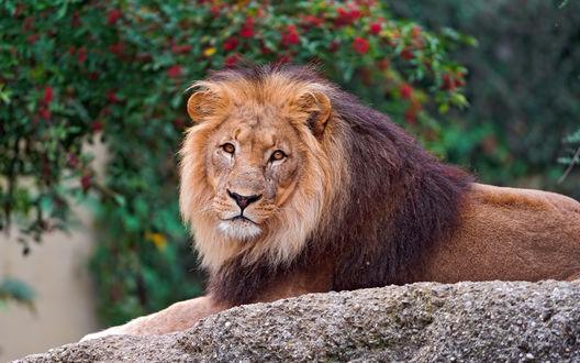Обои Лев отдыхает, лежа на камне