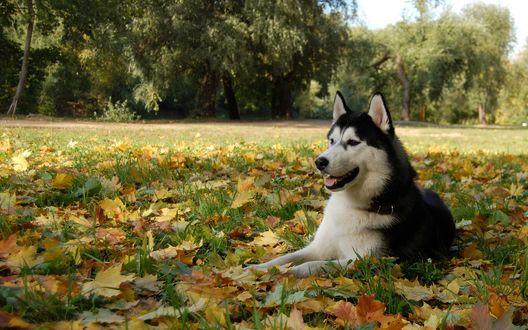 Обои Хаски лежит в осенних листьях