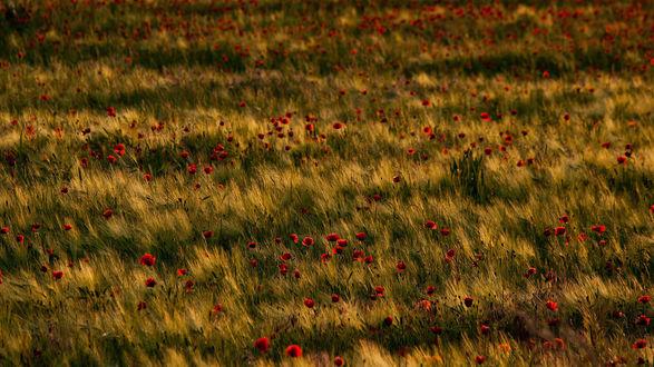 Обои Красные маки в зеленом поле