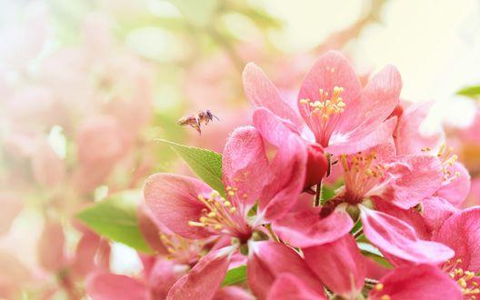 Обои Пчела опыляет цветущую вишню