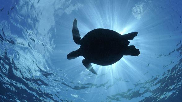 Обои Морская черепаха под водой