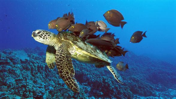 Обои Рифовые рыбы чистят панцирь черепахе