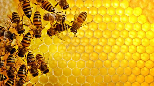 Обои Пчелы на сотах меда