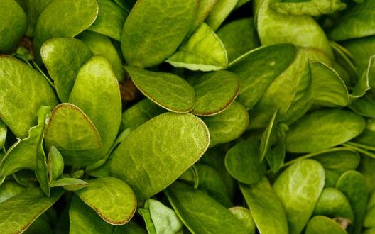 Обои Зеленые ровные листья