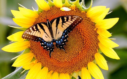 Обои Бабочка махаон сидит на подсолнухе