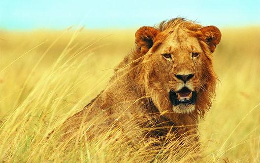 Обои Молодой лев в поле