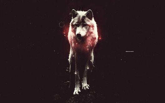 Обои Красный волк  (Sebastian Andraur)