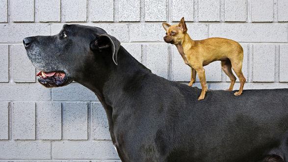 Обои Огромный дог возле стены, на его спине катается маленькая собачонка