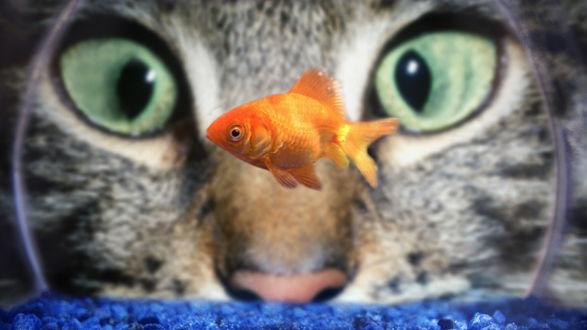 Обои Огромные зеленые глаза кота, наблюдающего за золотой рыбкой в аквариуме