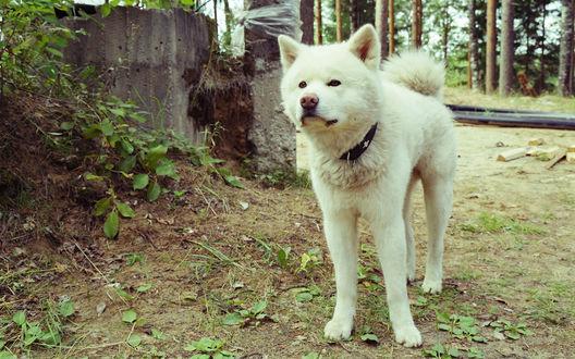 Обои Собака породы акита-ину на природе