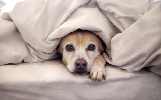 Обои Морда собаки выглядывает из-под одеяла