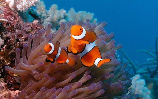 Обои Две рыбки-клоуны плавают возле кораллов