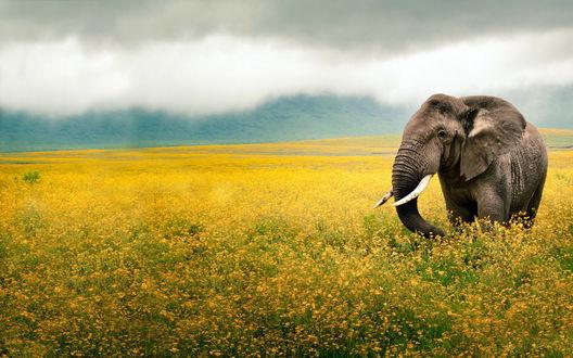 Обои Слон в  поле желтых цветов