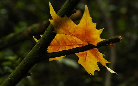 Обои Осенний лист застрял на ветке
