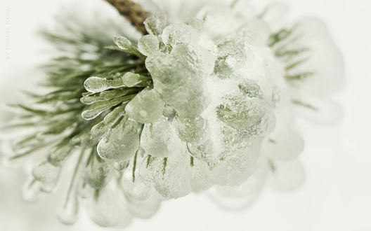 Обои Ветка елки под замороженным льдом (Maria Pronina)