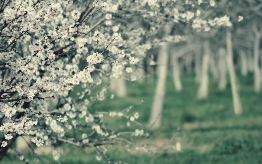 Обои Цветущие деревья в саду
