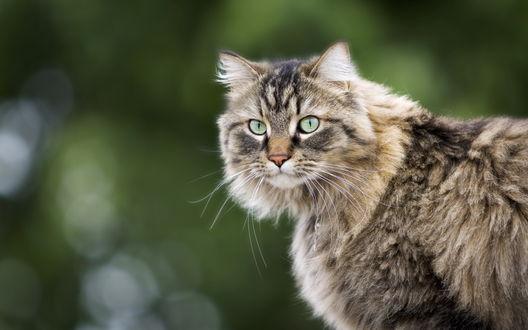 Обои Взгляд кота