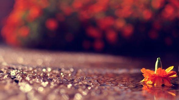 Обои Сорванный цветок лежит на мокром асфальте