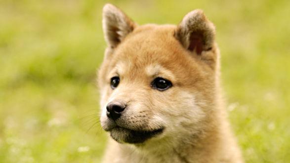 Обои Милый щенок Шиба ину